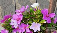 flores-do santuario-da-piedade-03jpg