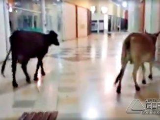 vacas-passeandoem-shopping-de-lavras