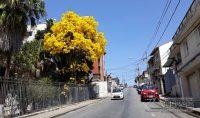 ipê-amarelo-foto-januário-basílio-01