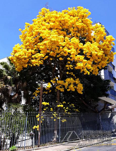 ipê-amarelo-foto-januário-basílio-03