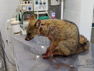 raposa-do-campo-ferida-01