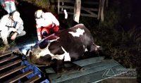 vaca-resgatada-pelos-bombeiros-em-barbacena